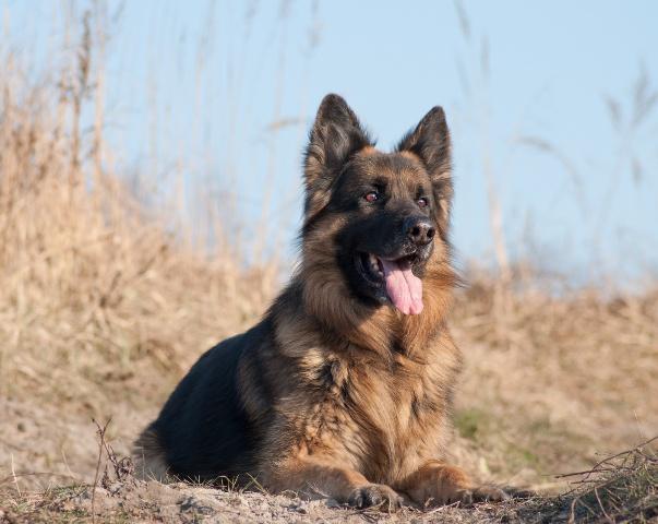 Afbeelding liggende hond, nietcastreren.nl