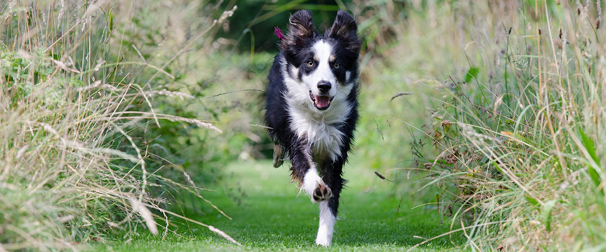 Border Collie rennend door het gras - omkeerbaar castreren