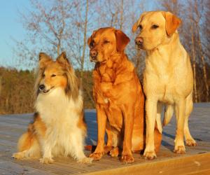 Drie honden zittend op een rij