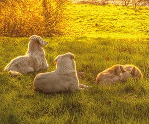 Honden bij zonsondergang