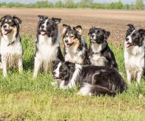 Kudde honden bij elkaar